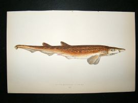 Couch: 1867 Antique Fish Print. Black Mouthed Dogfish
